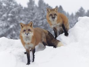 Red Fox (Vulpes Vulpes) in Snow Fall Showing the Black and Red Markings of Cross Phase, Montana by Tim Fitzharris/Minden Pictures