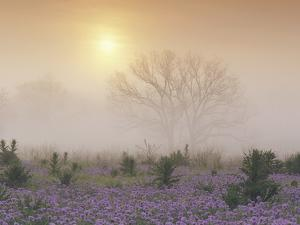 Sand Verbena (Abronia Gracilis) and Foggy Morning Sunrise over a Bare Tree, Hill Country, Texas by Tim Fitzharris/Minden Pictures