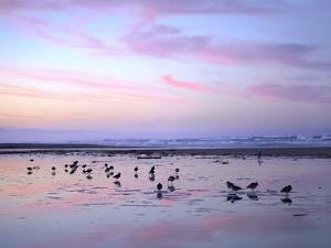 Shorebirds Foraging at Sunset, Pismo Beach, California by Tim Fitzharris/Minden Pictures