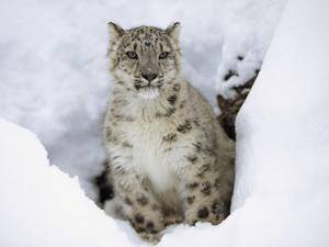Snow Leopard (Uncia Uncia) Adult Portrait in Snow, Endangered, Native to Asia by Tim Fitzharris/Minden Pictures