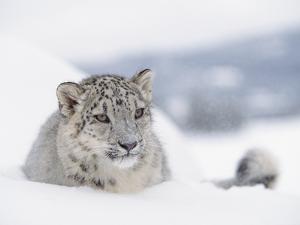 Snow Leopard (Uncia Uncia) Adult Portrait in Snow, Endangered by Tim Fitzharris/Minden Pictures