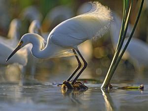 Snowy Egret (Egretta Thula) Fishing, North America by Tim Fitzharris/Minden Pictures