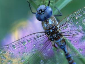 Southern Hawker Dragonfly (Aeshna Cyanea) Close Up, Moisture on Wings, New Mexico by Tim Fitzharris/Minden Pictures