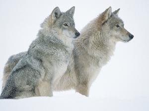 Timber Wolf (Canis Lupus) Portrait of Pair Sitting in Snow, North America by Tim Fitzharris/Minden Pictures