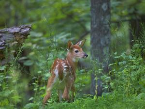 White-Tailed Deer (Odocoileus Virginianus) Fawn with Spots in Forest, North America by Tim Fitzharris/Minden Pictures