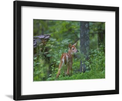 White-Tailed Deer (Odocoileus Virginianus) Fawn with Spots in Forest, North America