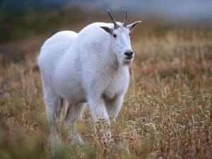 Mountain Goat, Wyoming, Usa by Tim Fitzharris