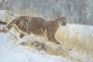 Mountain Lion over Deer Kill, Montana, Usa by Tim Fitzharris