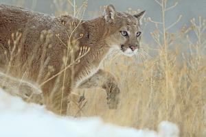 Mountain Lion over its Prey, Montana, Usa by Tim Fitzharris