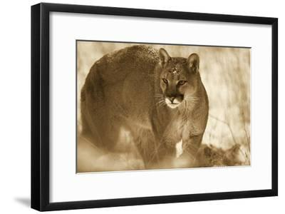Mountain Lion portrait in winter, Montana - Sepia