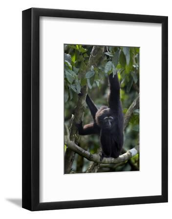 Mueller's Gibbon Hanging in a Tree, Singapore