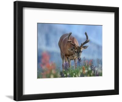 Mule Deer in Velvet, Olympic National Park, Washington State, Usa
