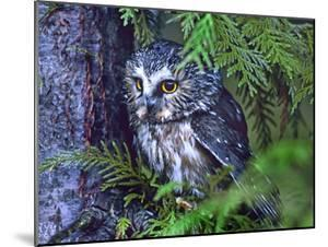 Northern Saw-Whet Owl, British Columbia, Canada by Tim Fitzharris