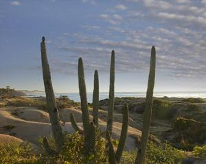Organ Pipe Cactus overlooking Chelino Bay, Baja California, Mexico by Tim Fitzharris