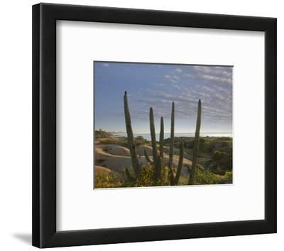 Organ Pipe Cactus overlooking Chelino Bay, Baja California, Mexico