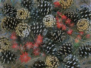 Ponderosa Pine Cones and Indian Paintbrushes, Utah Usa by Tim Fitzharris
