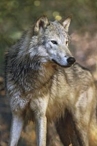 Portrait of a Gray Wolf, Montana by Tim Fitzharris