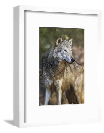 Portrait of a Gray Wolf, Montana