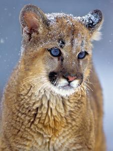 Portrait of a Mountain Lion Kitten, Montana, Usa by Tim Fitzharris