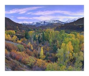 Quaking Aspen forest in autumn, Snowmass Mountain near Quaking Aspen, Colorado by Tim Fitzharris