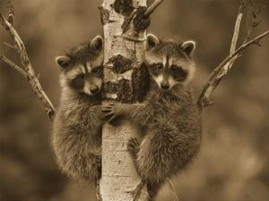 Raccoon two babies climbing tree, North America - Sepia by Tim Fitzharris