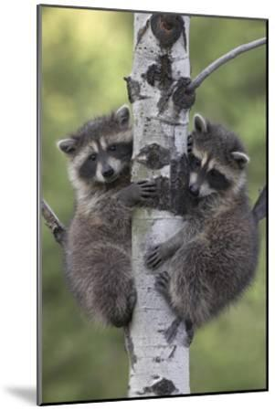 Raccoon Climbing in Tree at Night Full Moon Photo Wall Picture 8x10 Art Print