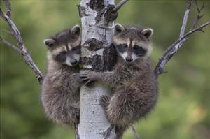Raccoon two babies climbing tree, North America by Tim Fitzharris