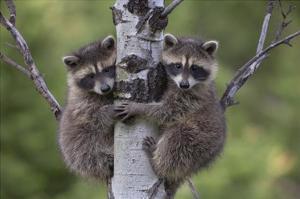 Raccoon two babies climbing tree, North America by Tim Fitzharris