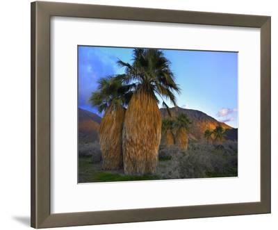 Real Fan Palm Anza-Borrego Desert, California