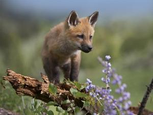 Red Fox kit climbing, North America by Tim Fitzharris