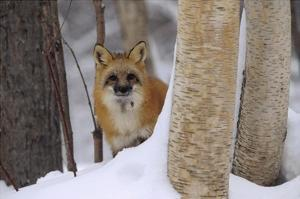 Red Fox looking out from behind trees in a snowy forest, Montana by Tim Fitzharris