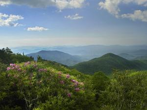 Rhododendron tree flowering at Craggy Gardens, Blue Ridge Parkway, North Carolina by Tim Fitzharris