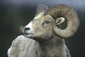 Rocky Mountain Bighorn Sheep, Wyoming, Usa by Tim Fitzharris