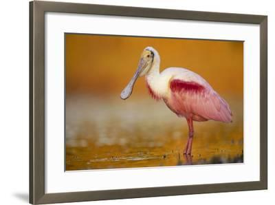 Roseate Spoonbill adult in breeding plumage standing in golden-colored water, North America