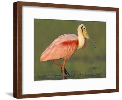 Roseate Spoonbill wading, North America