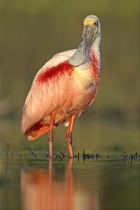 Roseate Spoonbill wading, North America by Tim Fitzharris
