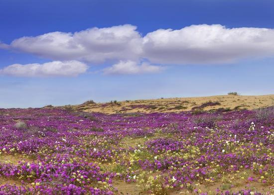 tim-fitzharris-sand-verbena-carpeting-the-ground-imperial-sand-dunes-california