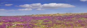 Sand Verbena carpeting the Imperial Sand Dunes, California by Tim Fitzharris