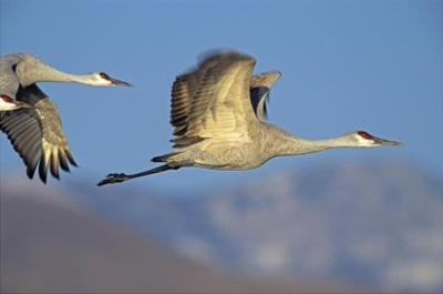 Sandhill Cranes flying, North American by Tim Fitzharris