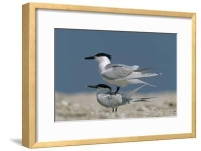 Sandwich Tern couple courting, North America