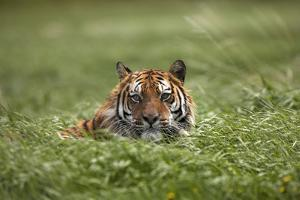 Siberian Tiger Hiding in the Grass. Montana, Usa by Tim Fitzharris