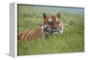 Siberian Tiger. Montana, Usa by Tim Fitzharris