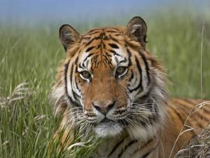 Siberian Tiger portrait, endangered, native to Siberia by Tim Fitzharris
