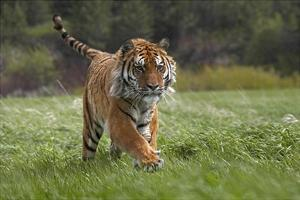 Siberian Tiger running, native to Russia by Tim Fitzharris