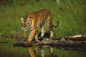 Siberian Tiger walking along waters edge by Tim Fitzharris