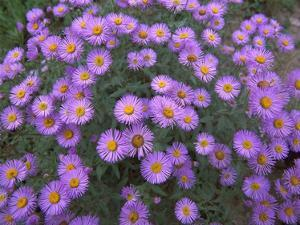 Smooth Aster plant in full summer bloom, Colorado by Tim Fitzharris