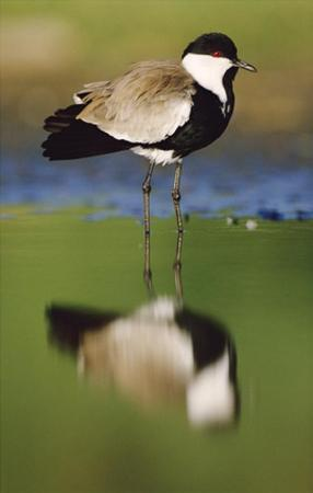 Spur-winged Plover with its reflection at waterhole, Kenya by Tim Fitzharris