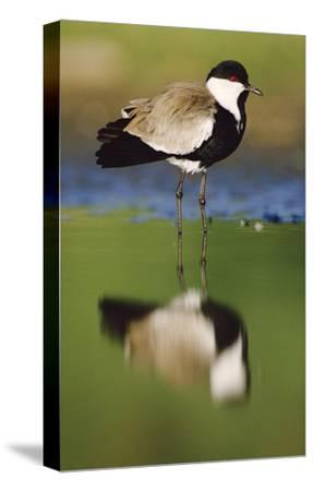 Spur-winged Plover with its reflection at waterhole, Kenya