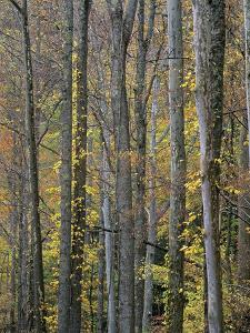 Sycamore Trees, Great Smoky Mountains National Park, Tennessee, Usa by Tim Fitzharris