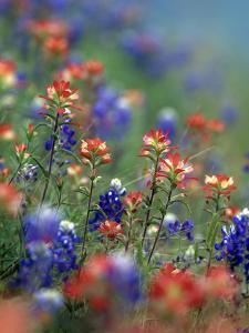 Texas Paintbrushes and Bluebonnets, Texas by Tim Fitzharris